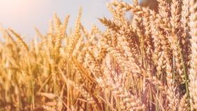 Punte dorate asciutte del grano il giorno soleggiato pronto per il raccolto Immagini Stock Libere da Diritti