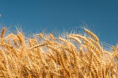 Punte dorate del grano con cielo blu Fotografia Stock