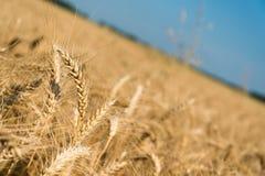 Punte dorate del grano con cielo blu Immagini Stock Libere da Diritti