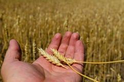 Punte mature di grano in mano dell'agricoltore Immagini Stock