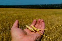 Punte mature di grano in mano dell'agricoltore Fotografia Stock Libera da Diritti