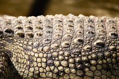 Punte sulla pelle del coccodrillo nello zoo fotografia stock libera da diritti
