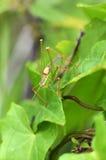 Punteggiare-locusta - punctatissima di Leptophyes fotografia stock libera da diritti