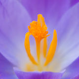 Punteggiato con polline Fotografie Stock Libere da Diritti