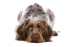 Puntero de pelo largo alemán Imagen de archivo