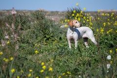 Puntero inglés (perro del cazador) imagenes de archivo
