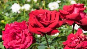 Punti da acqua sui petali d'appassimento delle rose Fotografie Stock