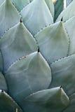 Punti dei cactus Fotografia Stock