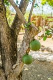 Punti di vista del Curacao dell'orto domestico dell'albero di zucca a fiaschetta Immagini Stock