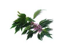 Puntilla con el motherwort de las flores aislado Imagen de archivo libre de regalías