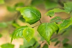 Puntilla con las hojas verdes Fotografía de archivo libre de regalías