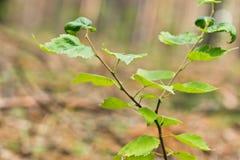 Puntilla con las hojas verdes Fotos de archivo