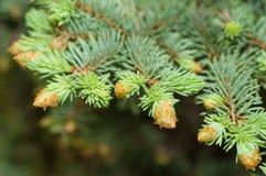 Puntilla de la picea azul en primavera Fotografía de archivo libre de regalías
