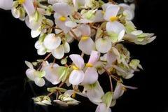 Puntilla de las plantas florecientes que cuelgan abajo en un fondo oscuro Imagen de archivo