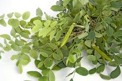 Puntilla del acacia Foto de archivo libre de regalías