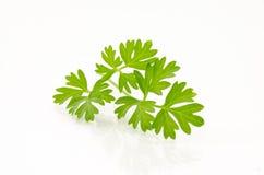 Puntilla del cilantro fotografía de archivo