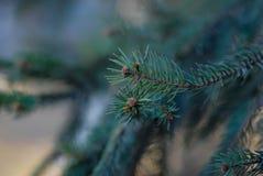Puntilla del pino Foto de archivo
