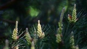 Puntilla del pino con los conos jovenes en primavera almacen de metraje de vídeo