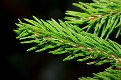 Puntilla del pino después del primer de la lluvia del verano Imagenes de archivo