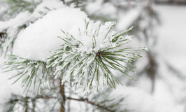 Puntilla del pino en la nieve Imágenes de archivo libres de regalías