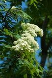 Puntilla del pino en la primavera Rama verde joven del pino Primavera para Imagenes de archivo