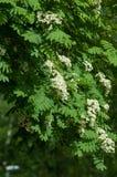 Puntilla del pino en la primavera Rama verde joven del pino Primavera para Fotos de archivo libres de regalías