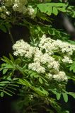Puntilla del pino en la primavera Rama verde joven del pino Primavera para Fotos de archivo