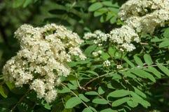 Puntilla del pino en la primavera Rama verde joven del pino Primavera para Foto de archivo