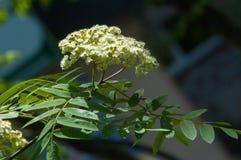Puntilla del pino en la primavera Rama verde joven del pino Primavera para Fotografía de archivo