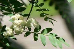 Puntilla del pino en la primavera Rama verde joven del pino Primavera para Fotografía de archivo libre de regalías