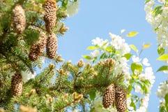 Puntilla del pino en la primavera Rama verde joven del pino Primavera para Imagen de archivo
