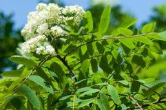 Puntilla del pino en la primavera Rama verde joven del pino Primavera para Imagen de archivo libre de regalías