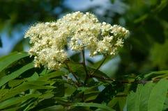 Puntilla del pino en la primavera Rama verde joven del pino Primavera para Imágenes de archivo libres de regalías