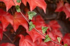 Puntilla otoñal con leafage rojo. Imágenes de archivo libres de regalías