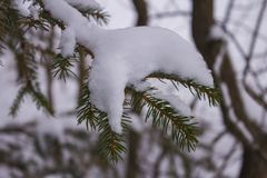 Puntilla Spruce asperjada con nieve Foto de archivo libre de regalías