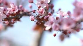 Puntillas con la cereza rosada de las flores metrajes