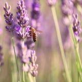 Puntillas de la lavanda y de la abeja Fotografía de archivo