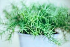 Puntillas verdes en el pote Fotografía de archivo libre de regalías
