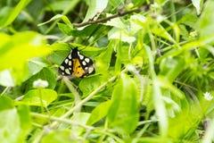 Punto crema Tiger Moth immagini stock