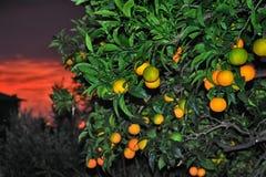 Punto culminante del primo piano maturo dell'arancia dolce con il tramonto rosso del cielo Fotografia Stock Libera da Diritti