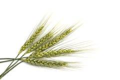 Punto del trigo con el fondo blanco, planta del punto del trigo, punto del trigo de la muestra Fotos de archivo libres de regalías