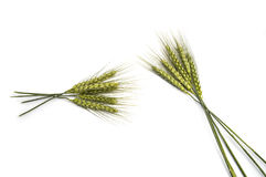Punto del trigo con el fondo blanco, planta del punto del trigo, punto del trigo de la muestra Fotos de archivo