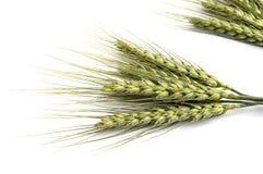 Punto del trigo con el fondo blanco, planta del punto del trigo, punto del trigo de la muestra Imágenes de archivo libres de regalías