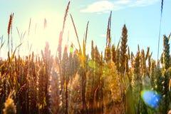 Punto del trigo encendido por el sol Imagen de archivo libre de regalías