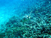 Punto della tartaruga Fotografia Stock
