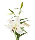 Punto di fioritura del giglio bianco Fotografia Stock Libera da Diritti