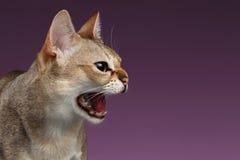 Punto di vista aggressivo di Singapura Cat Hisses Profile del primo piano sulla porpora Fotografie Stock Libere da Diritti