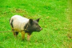 Punto di vista all'aperto del maiale con una corda intorno al suo collo che pasce nell'erba Immagini Stock