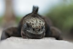 Punto di vista alto vicino dell'iguana fotografia stock