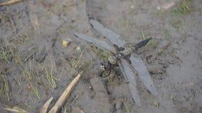 Punto di vista alto vicino dell'insetto della libellula in natura della fauna selvatica Mosca del movimento lento stock footage